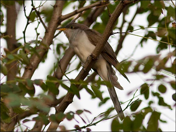 Yellow-billed Cuckoo Coccyzus americanus in the Azores