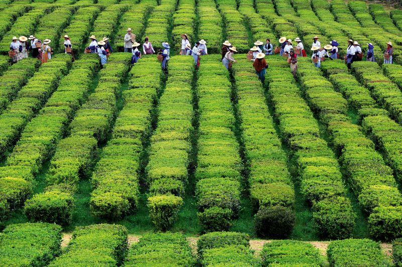 Tea Plantation - Associacao Turismo dos Acores - Photo credit to Publicor
