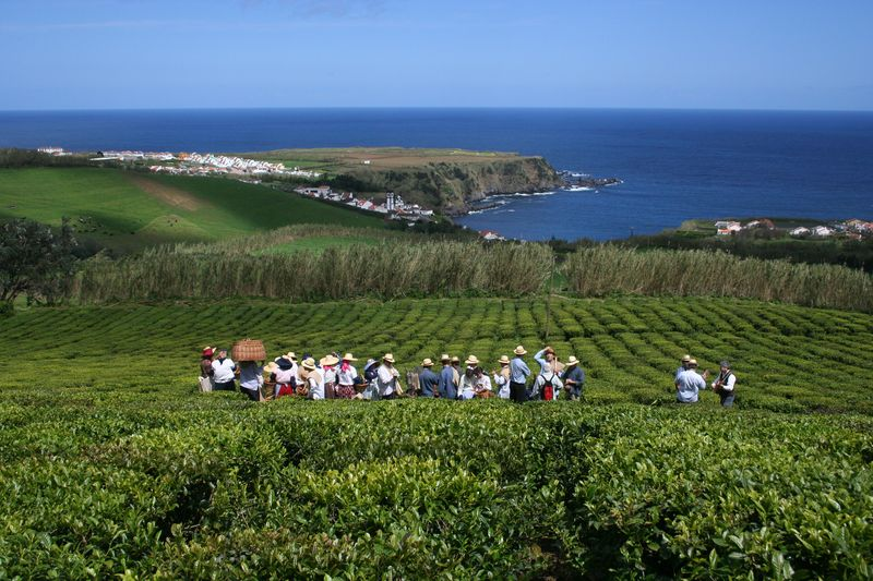 Tea Plantation - Photo Credit to Cha Porto Formoso