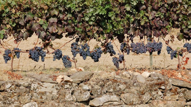 Douro_wine_grapes_ripe_for_the_harvest