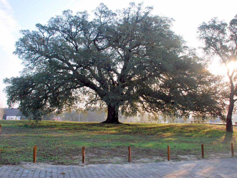 Coark oak